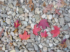 Fall Leaves (pchowhan) Tags: sony digi