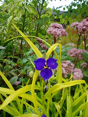 Tradescantia B&G with Sedum Matrona