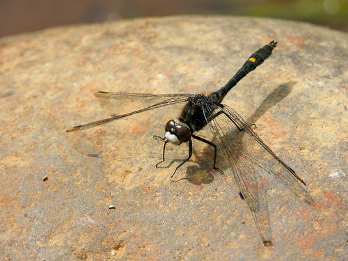 Photograph of a male Dot-Tailed Whiteface dragonfly, showing the bright white face, clear wings, and black body with one square yellow spot about 2/3 of the way down the abdomen.