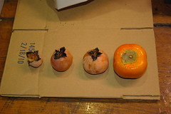 Persimmon comparison (Michigan Useful Plants) Tags: permaculture ediblelandscaping regenerativedesign oikostreecrops