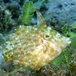 IMG_5468acrre Planehead Filefish (Stephanolepis hispidus) thumbnail