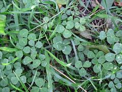 Trebol de 4 hojas (La ruta naturaL) Tags: verde suerte treboles eneljardin treboldecuatrohojas