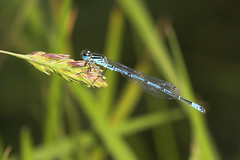 "Azure Damselfly (Coenagrion puella)(4) • <a style=""font-size:0.8em;"" href=""http://www.flickr.com/photos/57024565@N00/526176444/"" target=""_blank"">View on Flickr</a>"