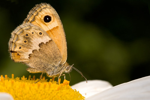 Cretan Small Heath (endemic)
