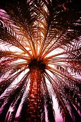 Dubai Media City, Dubai - Scanned Cross-Processed Slide (joshedwards) Tags: film xpro crossprocessed dubai fuji uae toycamera palm velvia photograph palmtree safe vivitar unitedarabemirates 100asa uws 2007 dubayy ultrawideandslim vivitarultrawideandslim vivitar35mmslimcamera 35mmslimcamera