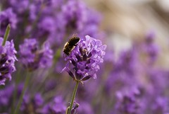 Lavender 1 (Miron Podgorean) Tags: flower nature bee lavande levender