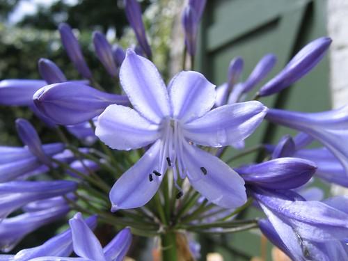 Agapanthus floret