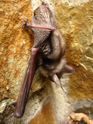 A bat rests near Lorchhausen, Germany