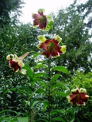 Heronswood Lilium nepalense