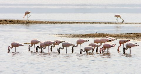 flamingoes feeding