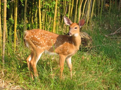 Fire Island Bambi