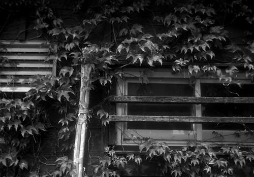 蔦が絡まる窓