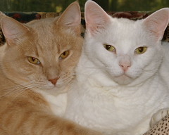 Pinky and The Puss Bid You a Happy Furry Friday (Gail S) Tags: pinky creamsicles thepuss bestofcats purrfectpusskits