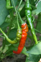 long red cayenne