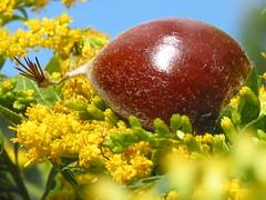 Chestnut on bed of goldenrod