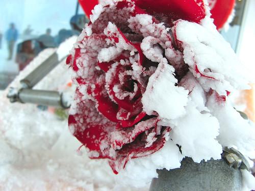 عناق الورد الثلج 1413678276_d2cb25f74