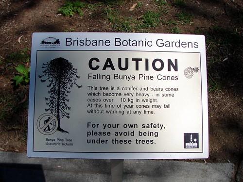 Beware the Bunya Pine Cone