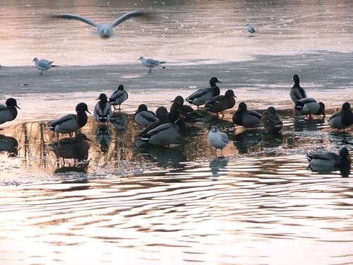 Bande de canards givrés avec envol d'oiseau