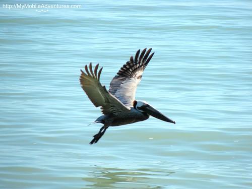 IMG_0385-American-brown-pelican-Sanibel-Island