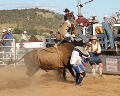 Ga 132 (Louise Berlin) Tags: bulls rodeo wildhorses coboys buckingbroncs australianrodeo goulburnrodeo boncs