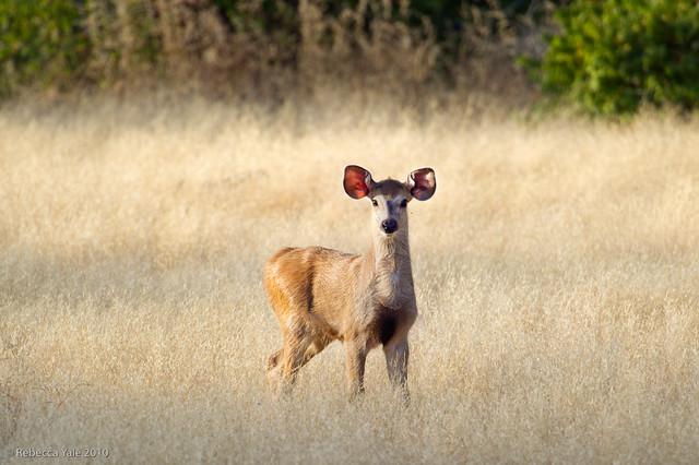 RYALE_Ranthambore_Deer_15