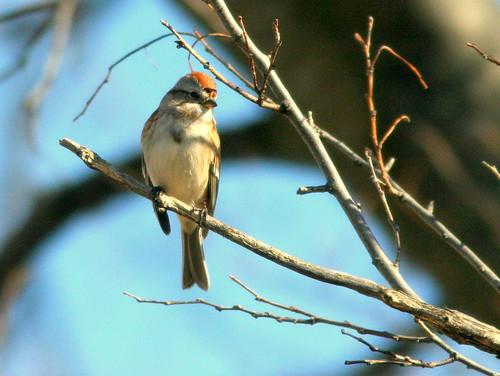 American Tree Sparrow 3-20101101