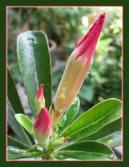 Rocketing buds of Adenium obesum (Desert Rose) in our garden, May 2007