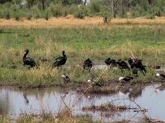 Birdlife - Kwai river (hannes.steyn) Tags: africa nature water birds animals wildlife rivers botswana kwairiver hannessteyn