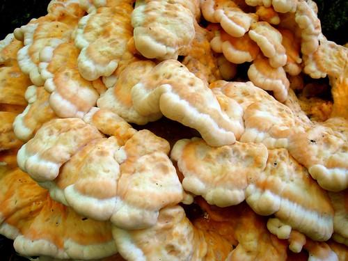 Puffy fungi