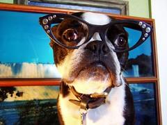 ivan glasses 1 (EllenJo) Tags: pets dogs bostonterrier glasses costume ivan niagrafalls disguise rhinestone smushedfaceddog ellenjoroberts ellenjdroberts ejdroberts ellenjocom