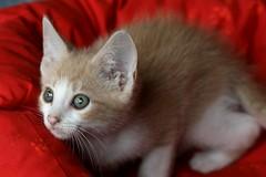 Teeny Tiny Franklin (Elkay 724) Tags: cats cat pet pets tabby creamsicle cream beautiful kitty kitten buff buffcoloredcats kitties cute bufftabby baby feline little eyes face expression bestofcats