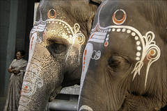 Elephants (Elishams) Tags: india elephant traditional culture indianarchive hinduism tika tamilnadu kanchi southindia kanchipuram southindian  kancheepuram southindianculture