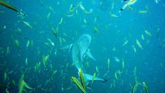 Gray Reef Shark and Fusiliers, Thailand (_takau99) Tags: ocean trip travel sea vacation holiday fish uw nature water topv111 thailand lumix topv555 marine asia southeastasia underwater topv444 dive july scuba diving 321 topv222 panasonic thai samui tropical scubadiving tao topv666 fusilier kohtao kotao 2007 gulfofthailand chumphon topf5 fx30 タオ島 takau99 grayreefshark chumphonpinnacle yellowbandfusilier dmcfx30 lumixfx30 scubaexplore
