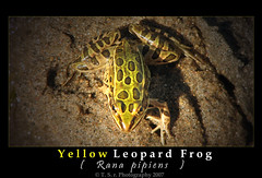 Yellow leopard frog (meadow frog or grass frog) (Thushan Sanjeewa) Tags: trip travel summer vacation nature water bravo frog explore rana fuana tode leopardfrog naturesfinest blueribbonwinner magicdonkey flickrsbest excapture yellowleopardfrog threelegfrog