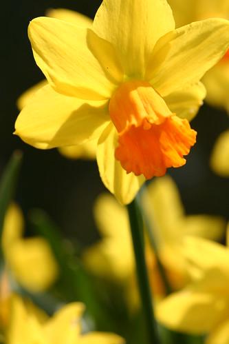 Orange and Yellow Daffodil
