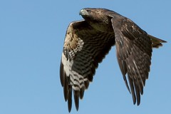 Redtailed hawk, close