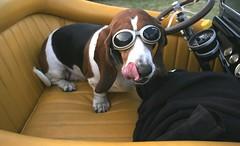 goggledog (iphoto22) Tags: dogs hound kimberly doggles nickoson