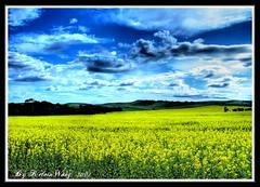 The Golden Paradise  (Kelvin Wong (Away)) Tags: flowers blue sky nature yellow clouds clare country australia adelaide southaustralia hdr canola superaplus aplusphoto favemegroup4 kelvinwong piscesromance