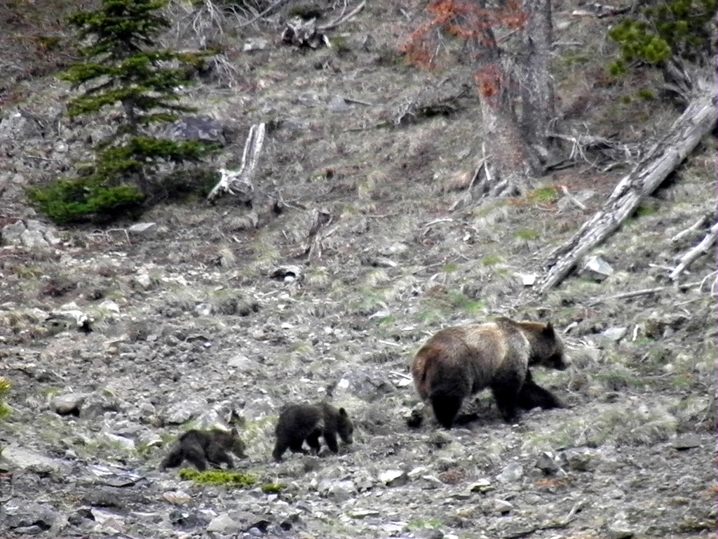 Grizzly Family Walks