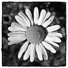 7 - 22 juin 2010 Saint-Maurice Bords de Marne Pquerette (melina1965) Tags: flowers blackandwhite bw flower macro fleur june daisies fleurs juin nikon ledefrance noiretblanc daisy 2010 valdemarne saintmaurice d80 pquerettes youmademyday photoscape yourmacroworld leagueofwomenphotographers foto inspirationdelimagination throughyoureyestoours umbralaward flickrsocialclub pquetette