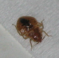 Adolescent bed bug