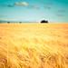 Golden Harvest by PMMPhoto