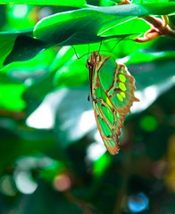 Butterfly (Keith Lovelady's Photography) Tags: brown color colour green nature colors beautiful leaves butterfly leaf colorful colours upsidedown lol awesome change sixflags colourful metamorphosis changed reborn newlife butterflyworld bornagain awesomephotograph awesomephoto awesomecolors sixflagsdiscoverykingdom discoverykingdom awesomecolours colorsarebeautiful coloursarebeautiful