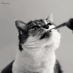 Me likes cream! (moggierocket) Tags: bw cats cute tongue cat funny cream treat coolest licking spoom bestofcats impressedbeauty bestofcat pruttel