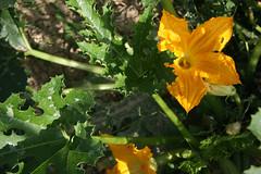 fleur-courgette