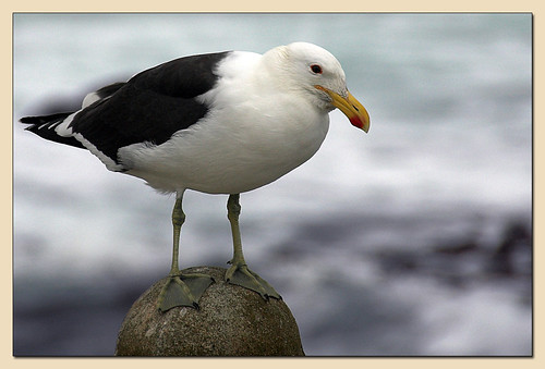 Kelp Gull (Southern Blackbacked Gull) (Larus dominicanus)