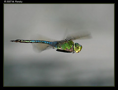 Darner in Flight Over Water (mplonsky) Tags: blue macro green nature topf25 face animal closeup bug insect grey fly flying eyes topf50 bravo dragon dragonflies action dragonfly topv999 flight insects bugs outpost odonata naturesfinest plonsky mywinners anawesomeshot 200750plusfaves ishflickr excellentphotographerawards natureoutpost