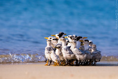 Which way !! (Ammar Alothman) Tags: blue sea bird beach nature water birds animal animals canon interesting sand gulf calendar wildlife explore kuwait ammar kubbar kuwaitcity kw 2007 q8 30d terns  canon30d kubar  kubbarisland ammaralothman 3mmar sternidae  kuwaitwildlife  whereiskuwait kvwc ternssternidae  kubarisland  kuwaitvoluntaryworkcenter  kuwaitvwc
