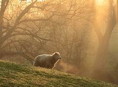 Last of the Sheep (rivadock4) Tags: morning sunrise work morninglight sheep walnut foggy memory wisdom soe ewe acrossthestreet naturesfinest lens00025 thingschange canonxti colorphotoaward natureoutpost