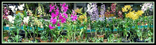 A colorful display of Dendrobium phalaenopsis orchids for sale at one of our local orchid nursery